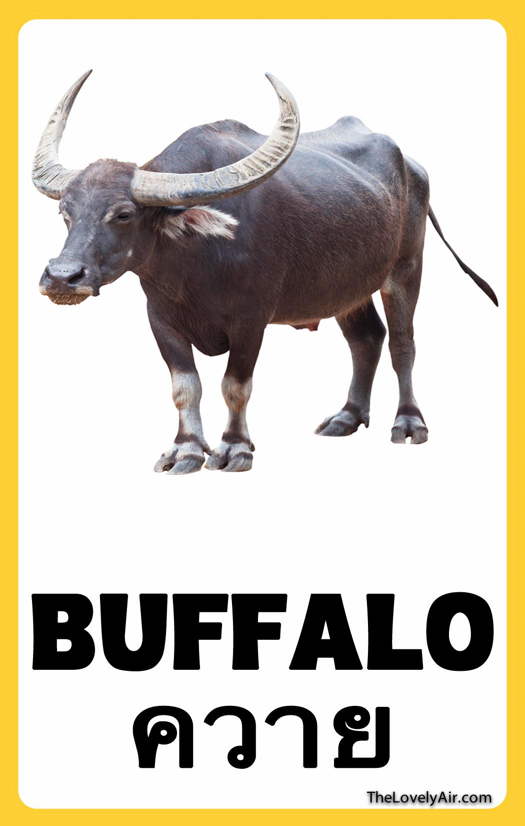 FlashCard---Buffalo