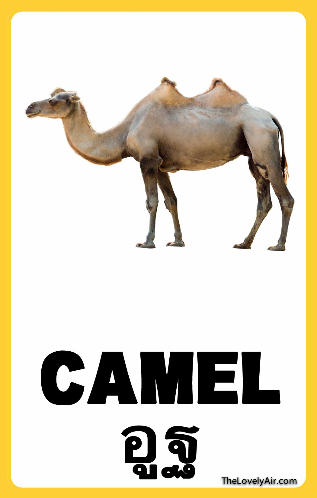 FlashCard---Camel