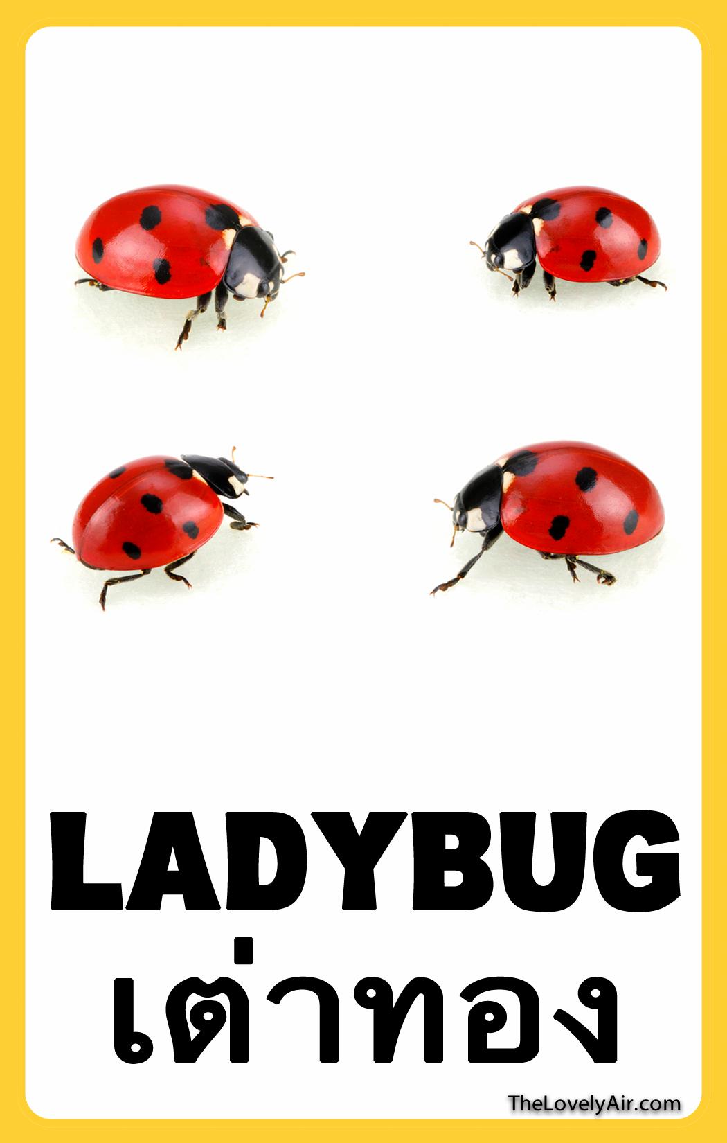 FlashCard---Ladybug
